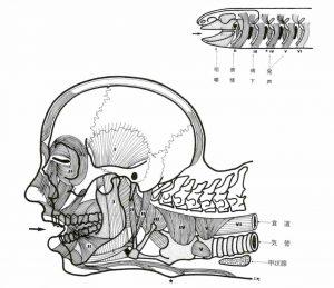 図2※うぶすな書院「生命形態の自然史 第1巻解剖学論集」より抜粋。