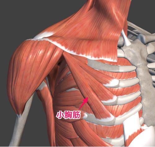 図5 小胸筋